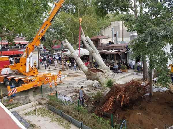 Çengelköy'de fırtınadan devrilen tarihi çınar aynı yerinde konuldu.
