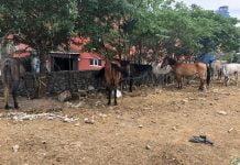 Adalar'a götürülmek istenen atlar kartal'da bekliyor!