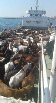 Tuzla Akfırat'ta bekletilen atlar Büyükada'ya getirildi