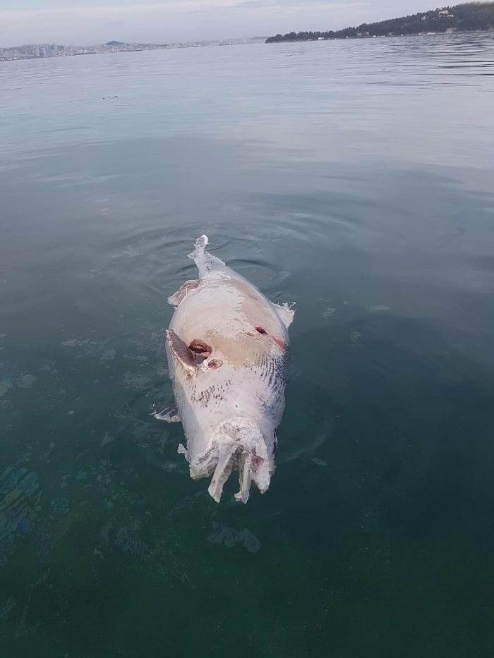 buyukada'da-denizde-500-kiloluk-balik-lesi!