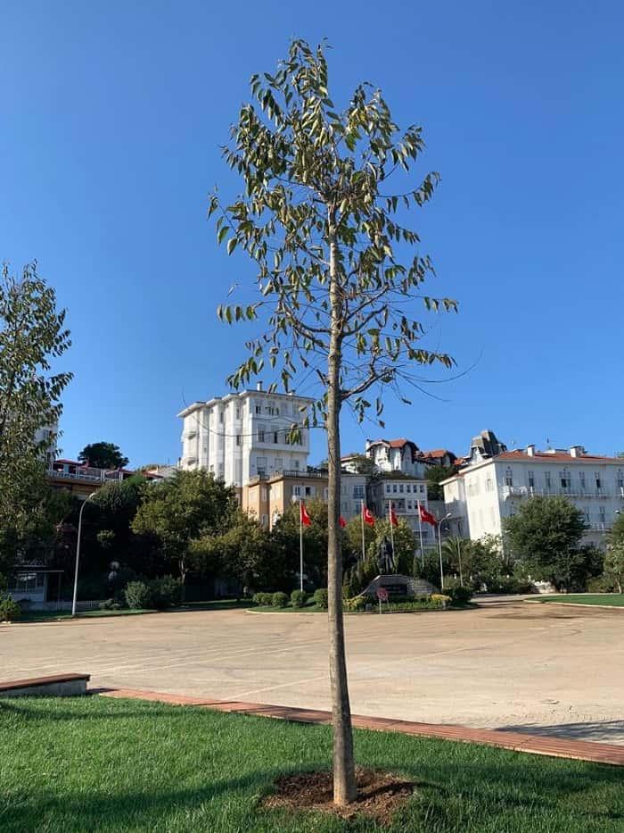 Büyükada Atatürk Meydanı'na dikilen ağaçlar kuruyor mu